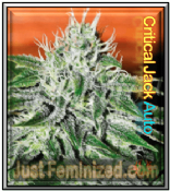Auto Critical Jack buy female medical marijuana automatic single seeds